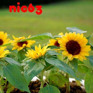 Семена ПОДСОЛНЕЧНИК ДЕКОРАТИВНЫЙ ПОДСОЛНУХ 40 штук