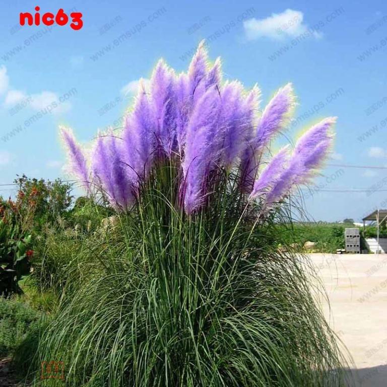 Семена цветов Cortaderia Selloana 50 штук