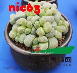 Семена Живой Камень Lithops Pseudotruncatella Бонсай 100 штук смесь семян разного вида