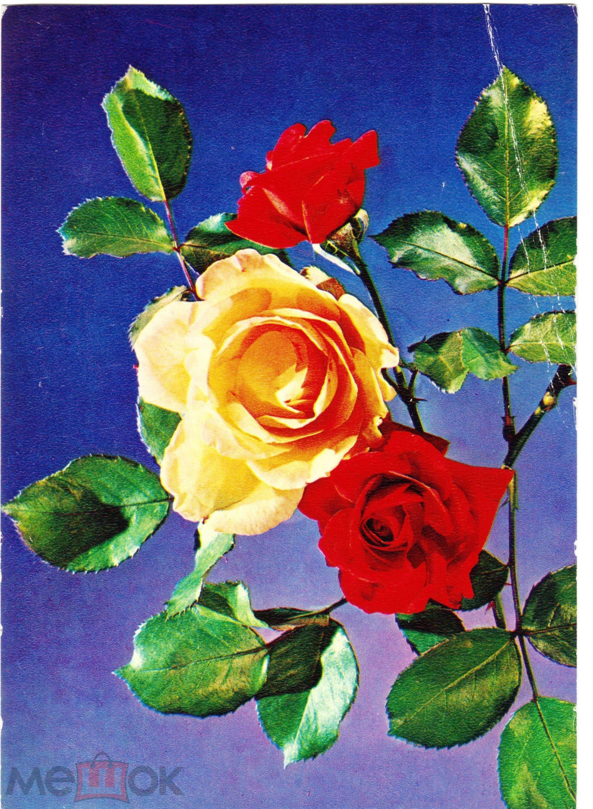 Открытка СССР Розы на ветке, фото Тихонова, чистая, 1977 года
